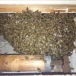 Bienen-im-Rolladenkasten