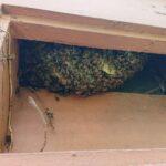 Bienen-in-Wand