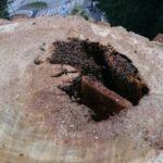 Bienenvolk-im-hohlen-Baum-aufgesaegt