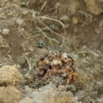 Grauweisse-Hummel-–-Bombus-mucidus-3