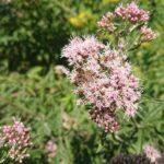 Wildbiene-auf-Baldrian-2