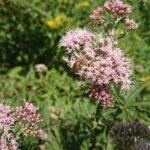 Wildbiene-auf-Baldrian-3