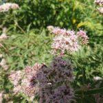 Wildbiene-auf-Baldrian-4