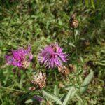 Wildbiene-auf-Flockenblume-3