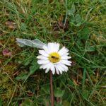 Wildbiene-auf-Gaensebluemchen