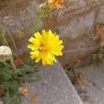 Wildbiene-auf-Habichtskraut