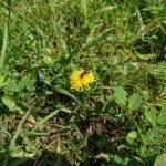 Wildbiene-auf-Loewenzahn