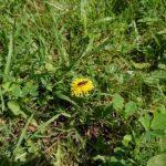 Wildbiene-auf-Loewenzahn-2