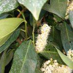 Wildbiene-auf-Lorbeer-2