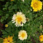 Wildbiene-auf-Ringelblume