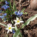 Wildbiene-im-Blaustern
