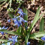 Wildbiene-im-Blaustern-2