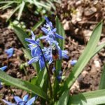 Wildbiene-im-Blaustern-3
