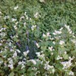 Lavendel-Buchweizen-Klee