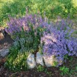 Kriechthymian-weiss-Salbei-lila-Gartensalbei-links-oben-Lavendel-vorne-und-Rosmarin-und-Kriechrosmarin-hinter-dem-Salbei-versteckt