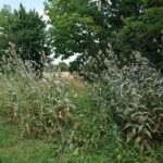 Bienenweidefeld-mit-Karden