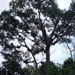Apis Dorsata Tree