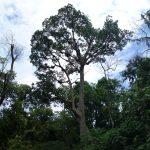 Apis Dorsata Tree (2)