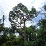 Apis Dorsata Tree (3)