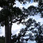 Apis Dorsata Tree (4)