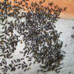 stingless bees (10)