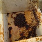 stingless bees (12)