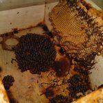 stingless bees (13)